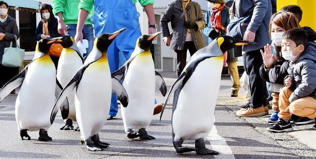 気持ちよさそうに散歩するオウサマペンギン=12月3日、福井県坂井市の越前松島水族館