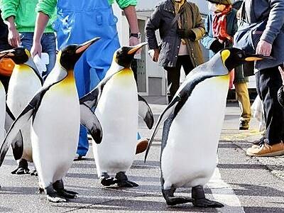 オウサマのお通りだぞ 松島水族館でペンギンが散歩 福井