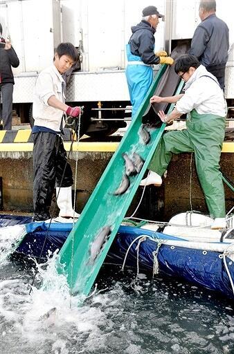 トラックからいけすに移されるふくいサーモンの稚魚=12月10日、福井県おおい町の大島漁港