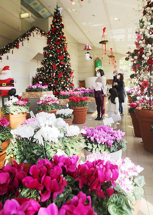 クリスマスツリーを囲むように展示されたシクラメン=県花総合センター