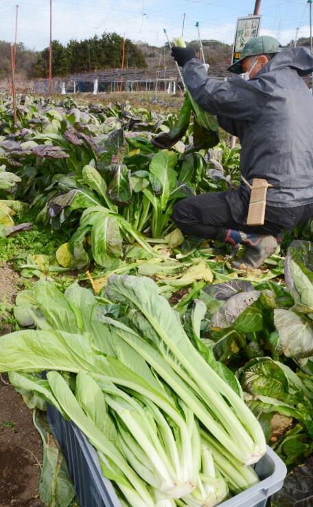 NPO法人だいちが管理する畑で収穫作業が進む源助かぶ菜