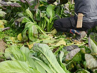 源助かぶ菜「ちょうど食べ頃」 豊丘で収穫体験を