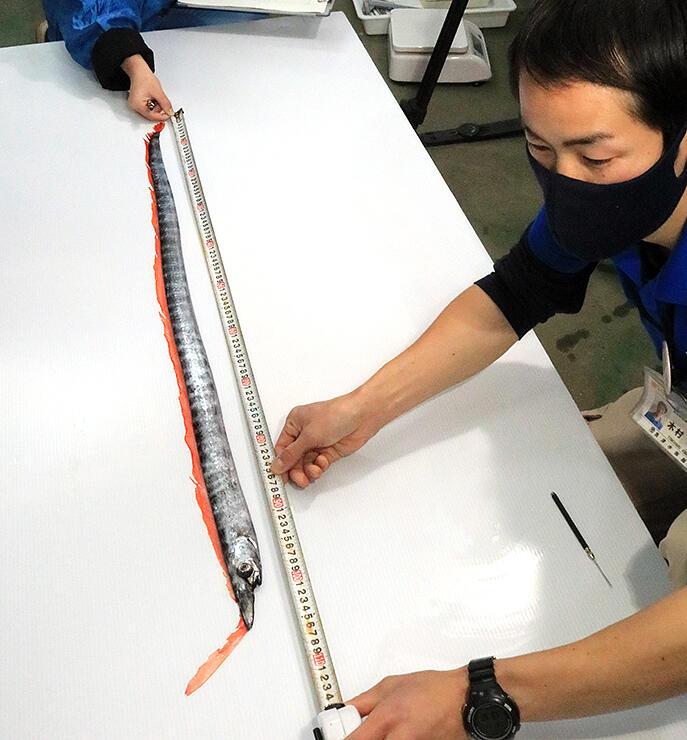 テングノタチの体長を計測する魚津水族館の職員