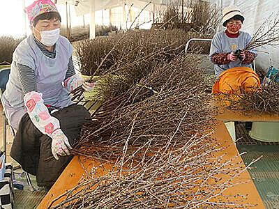 コロナ禍の冬 啓翁桜眺め前向きに 富山市山田地域で出荷