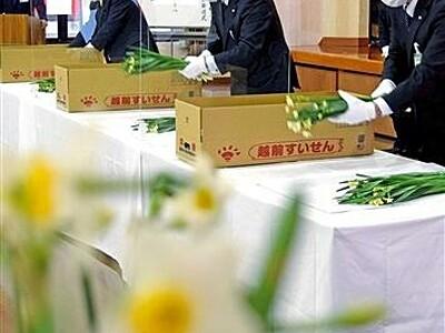 香り豊かな越前水仙、常陸宮家へ 福井県南越前町が発送