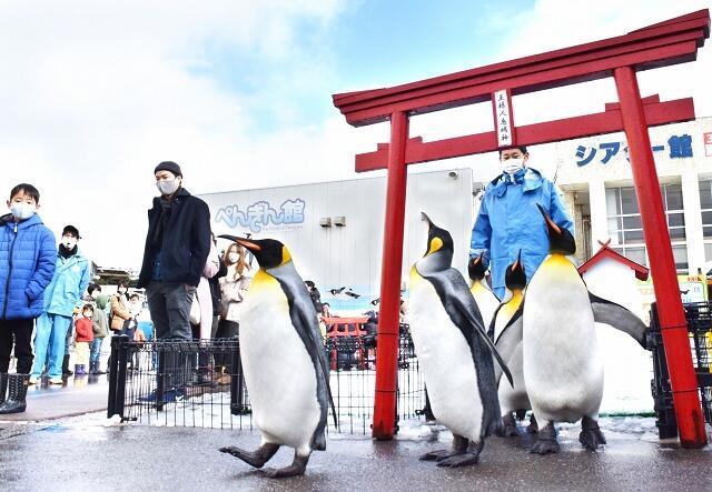愛らしい姿で鳥居をくぐるオウサマペンギン=1月3日、福井県坂井市の越前松島水族館