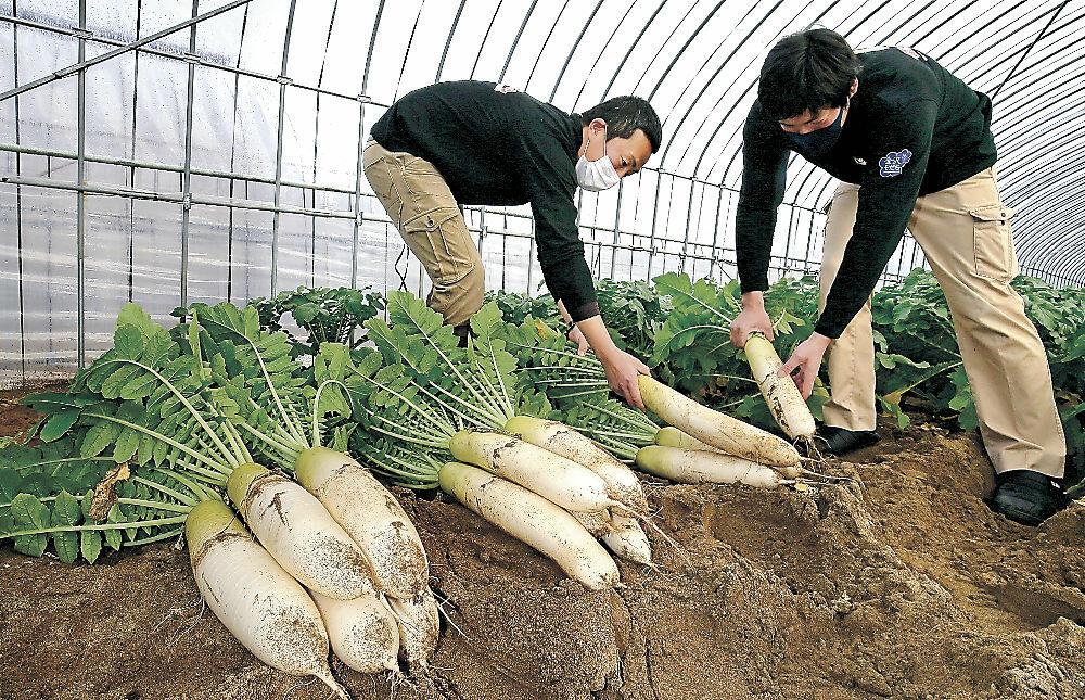 冬作だいこんを収穫する農家=金沢市大野町4丁目