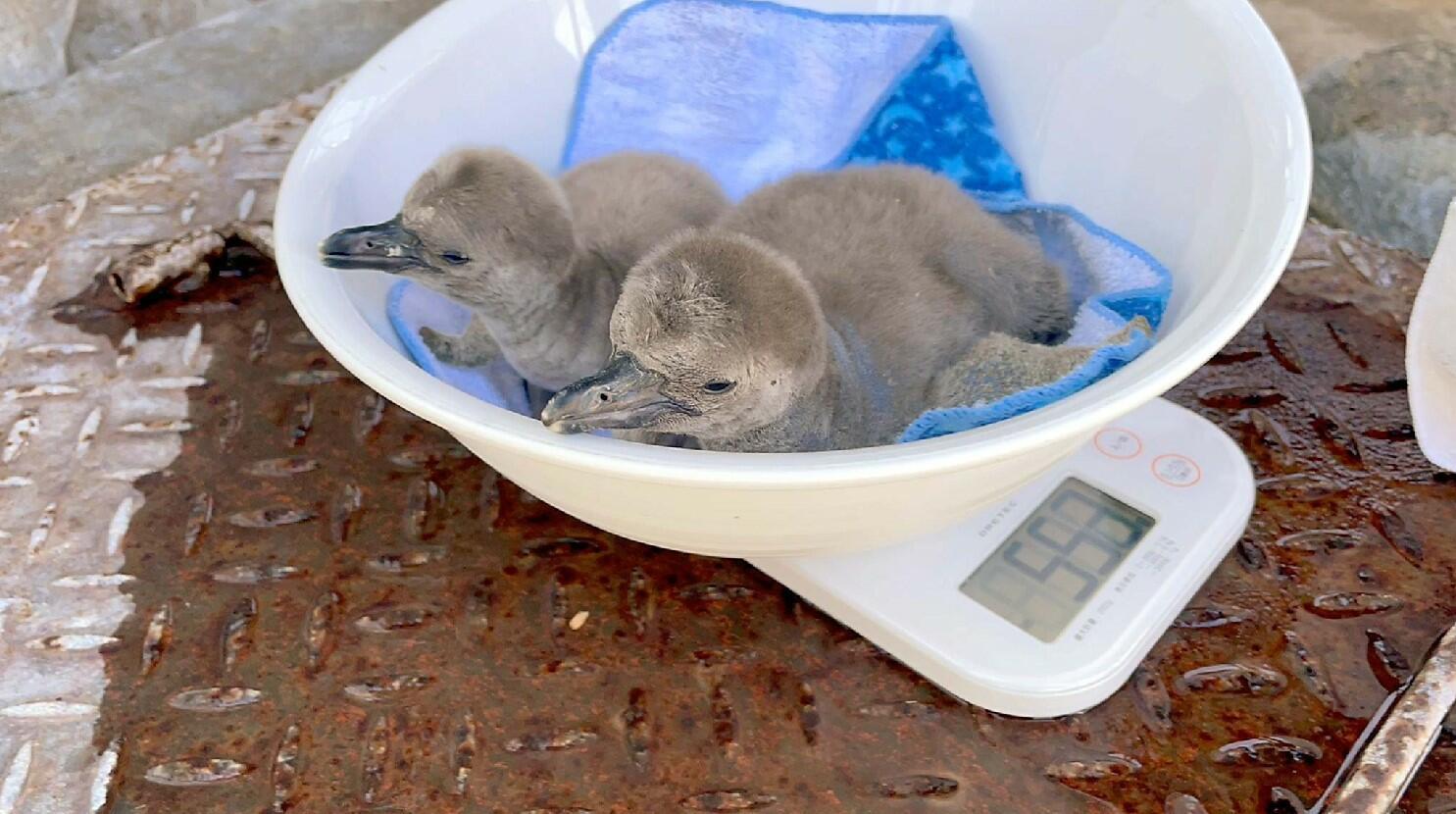 城山動物園で誕生したフンボルトペンギンのひな2羽=昨年12月25日