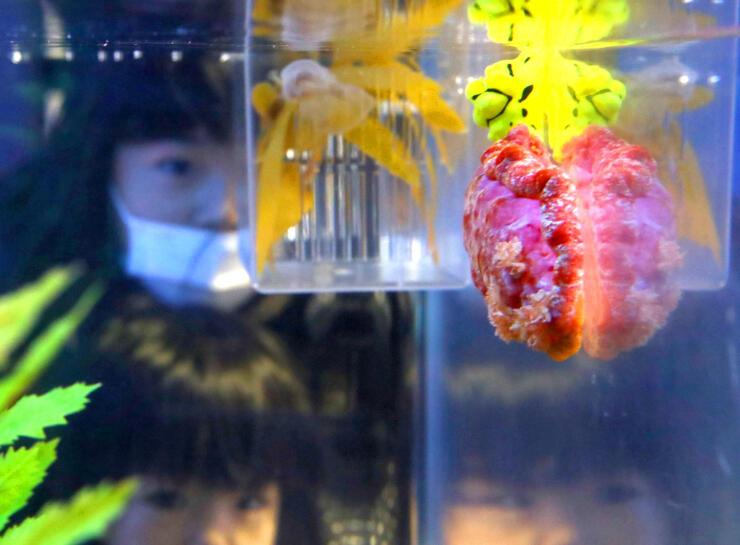 鮮やかな赤色のウミウシなどが披露された干支にちなんだ企画展=長岡市寺泊水族博物館