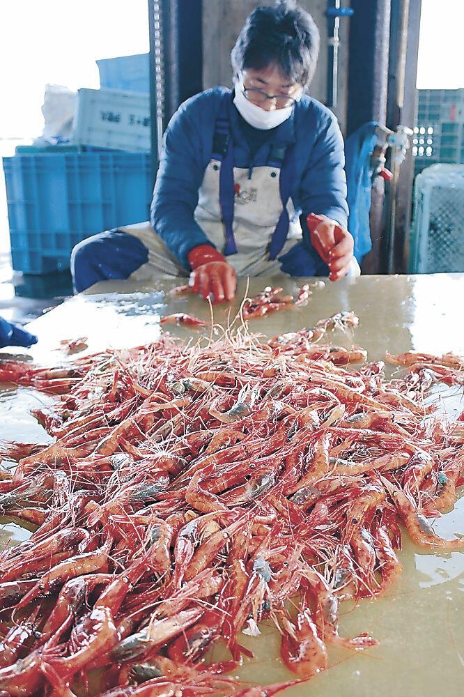 かご漁で水揚げされた甘エビ=志賀町の富来漁港