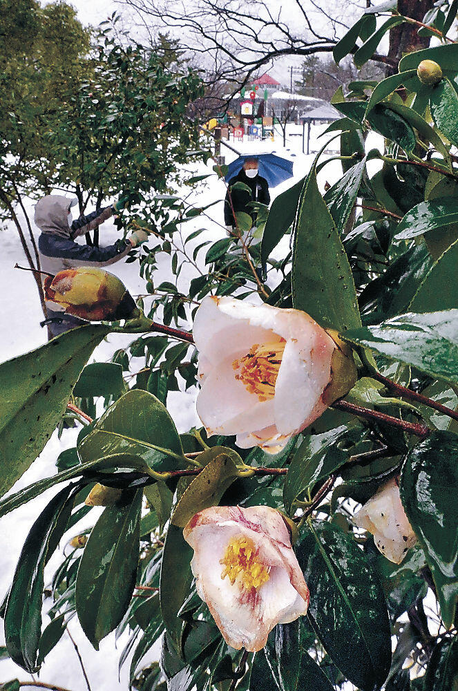淡いピンクの花を咲かすツバキ「野々市」=野々市市野々市中央公園