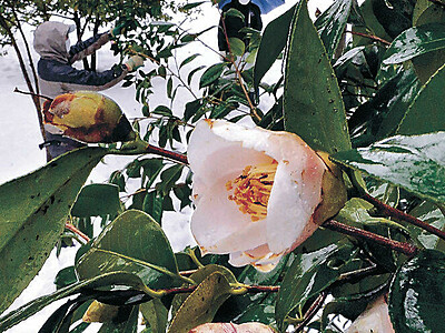 つややか雨のツバキ 早咲き品種「野々市」開花