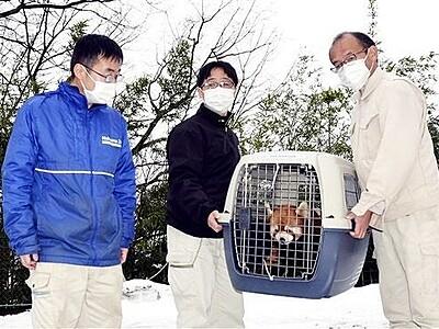レッサーパンダ「ムータン」長野へ 鯖江・西山動物園