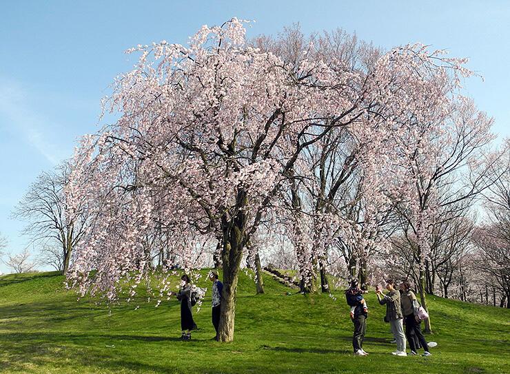 鮮やかに咲く呉羽山公園都市緑化植物園のクレハオトメシダレ(2017年4月)