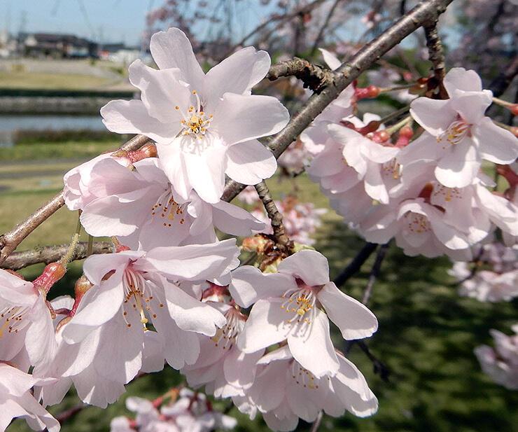 一重咲きと八重咲きの花が混ざっている(2017年4月)