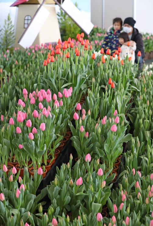 鮮やかな色で見る人の目を楽しませているアイスチューリップ=23日、長岡市の国営越後丘陵公園