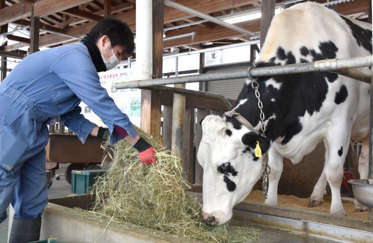 乳牛の世話をするアグリパーク職員=新潟市南区