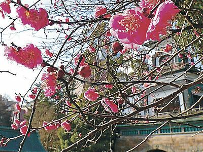 尾山神社 鮮やか寒紅梅、見頃