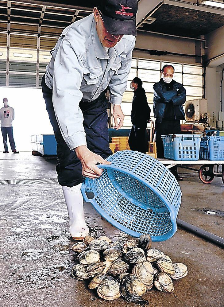 水揚げされたトリガイ=昨年4月、七尾市の石崎漁港