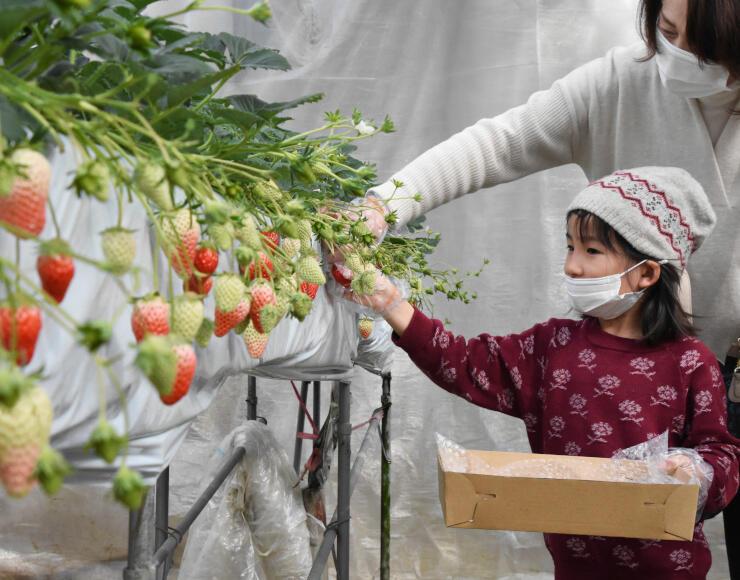 マスクを着けてイチゴ狩りを楽しむ子どもら