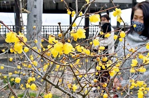 見頃を迎えたロウバイ=1月28日、福井県敦賀市常宮の常宮神社