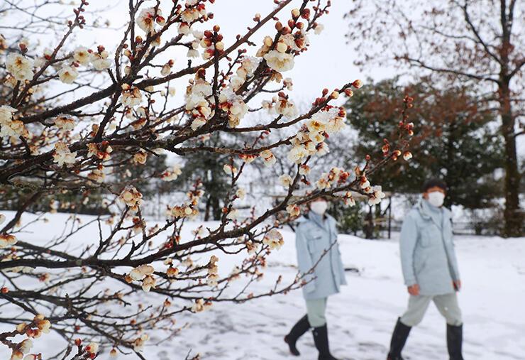 見頃の白梅に積もった雪=県中央植物園(金田侑香里撮影)