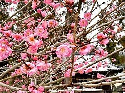 雪舞う立春、映える紅梅 福井の北野神社