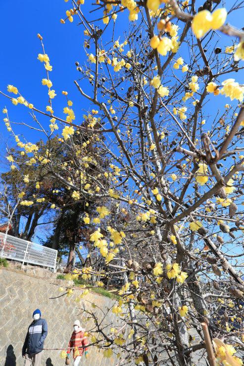 青空に黄色の花が映える元善光寺のロウバイ=3日午前11時12分、飯田市座光寺