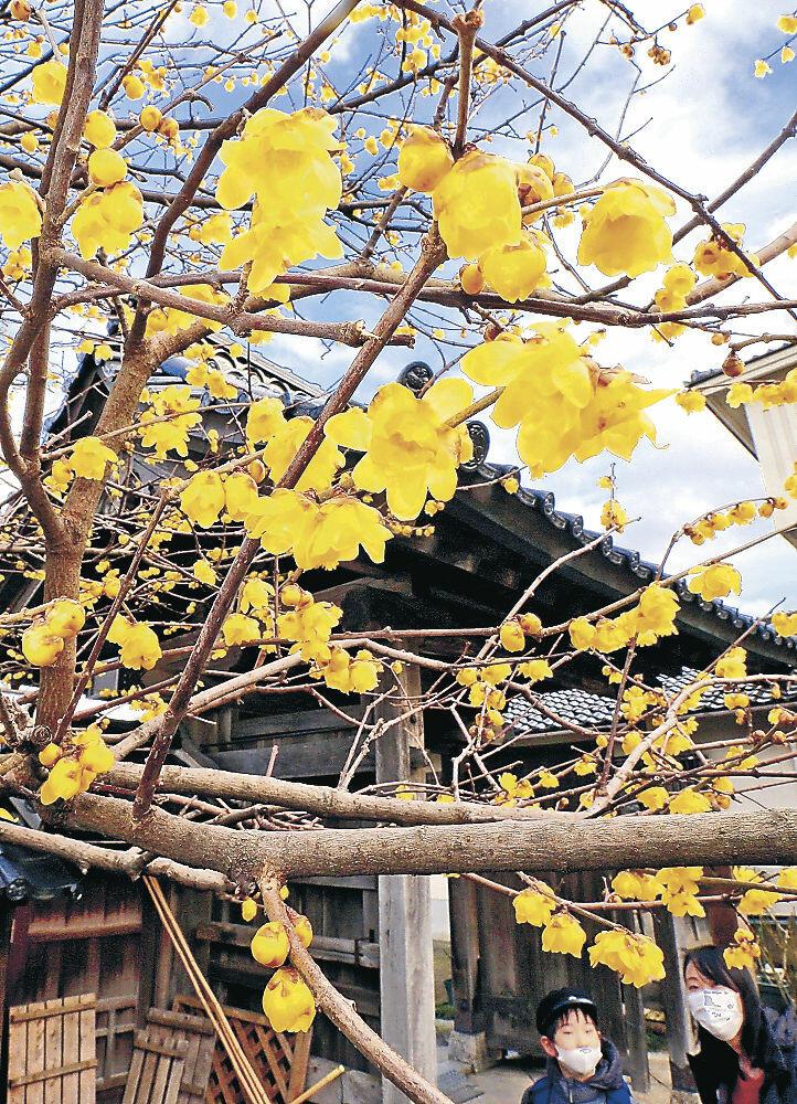 青空に映えるロウバイの花=金沢市寺町5丁目の浄土宗大円寺