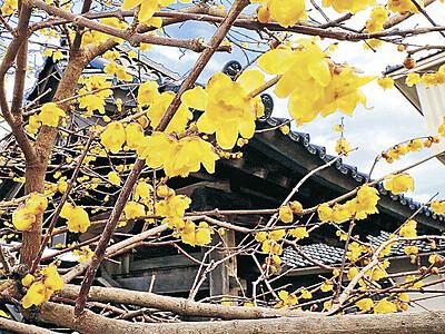 金沢の大円寺 黄色いロウバイ青空に映え