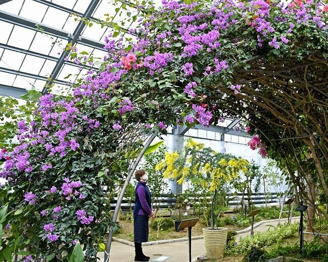 見頃を迎えたブーゲンビリア(手前)とミモザ(奥)=2月4日、福井県越前市万葉菊花園