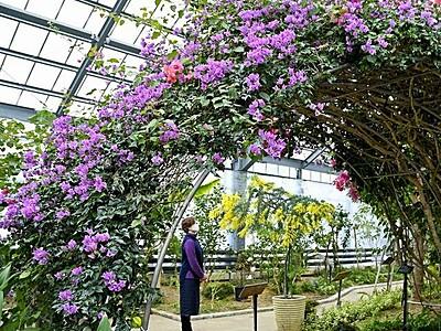 ミモザとブーゲンビリアが温室内で競演 越前市万葉菊花園で見頃