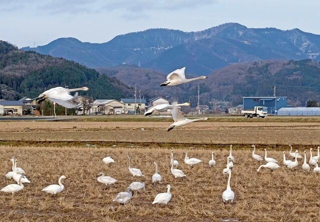 田んぼで羽を休めるコハクチョウの群れ=2月5日、福井県あわら市伊井