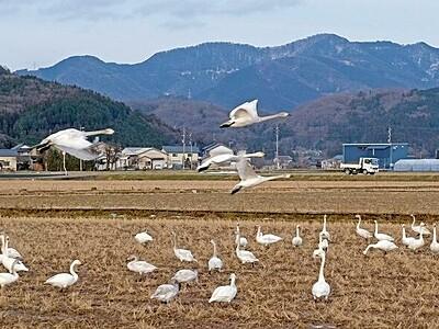 コハクチョウ70羽、福井県の田んぼではね休め あわら市