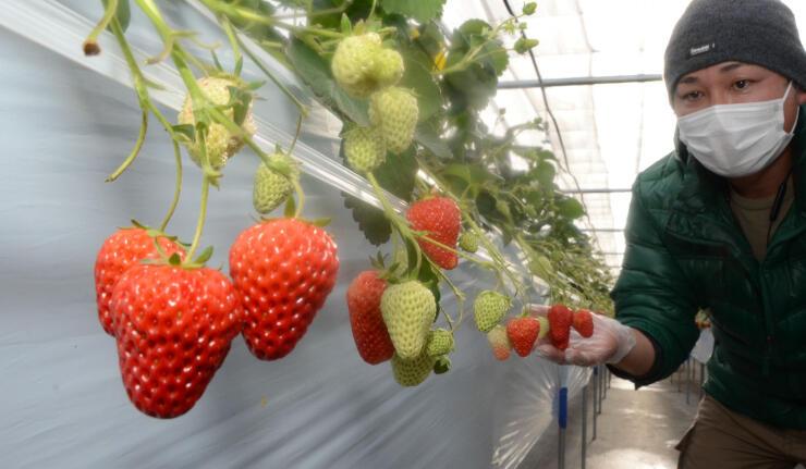色づいたイチゴが並ぶ軽井沢ガーデンファーム