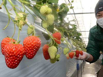 おうちでイチゴ狩り気分を 軽井沢の農園、詰め合わせ販売