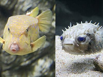 富山湾で珍しい南方のフグお目見え 魚津水族館