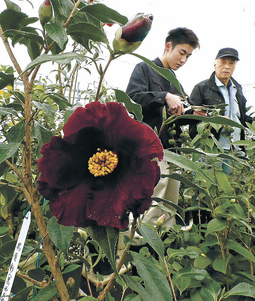 新品種「黒有彩」を眺める松井さん(右)と孫の松本さん=若松町新たに「黒」開発