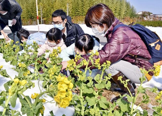 菜花を摘み取る親子=2月20日、福井県美浜町久々子の県園芸体験施設「園芸LABOの丘」