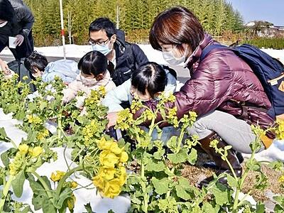 一足早く「春」体験 福井県美浜町で「菜の花とウメの花まつり」