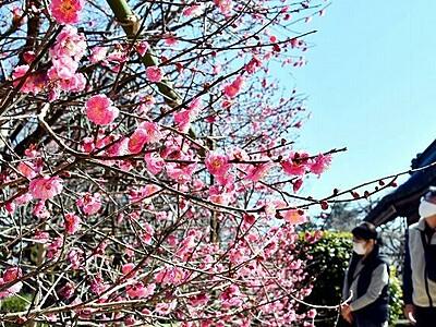 早春を彩る寒紅梅が満開 敦賀市の常宮神社 2月いっぱい見頃