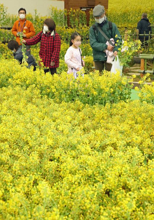 展示していた菜の花を選ぶ来場者=23日、安曇野市の国営アルプスあづみの公園堀金・穂高地区
