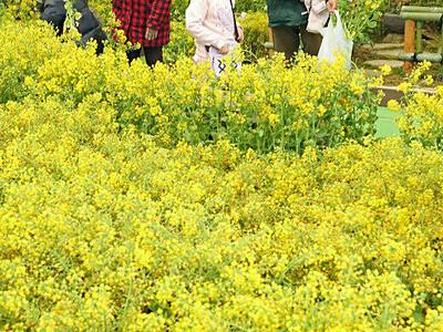 春色を「おうちにも」 あづみの公園で菜の花プレゼント