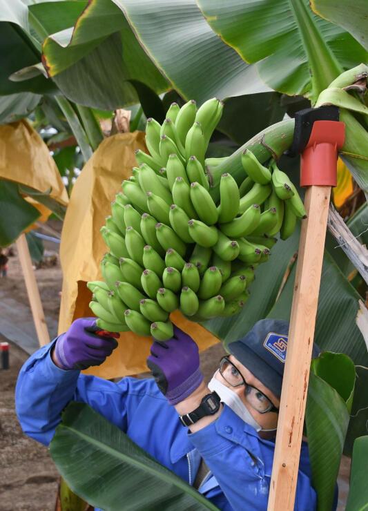 真冬でも温室栽培施設で行われている越後バナーナの収穫作業=柏崎市荒浜2