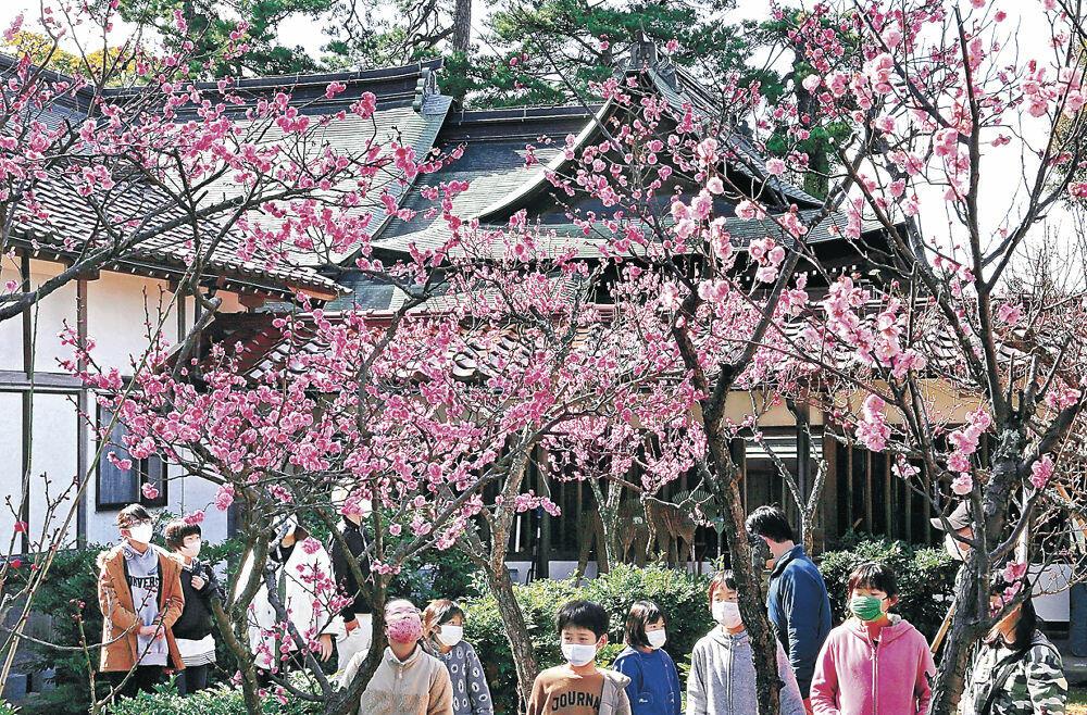 見頃を迎えた紅梅の花=小松市の小松天満宮