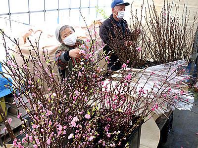 春感じるハナモモ 小矢部で出荷準備