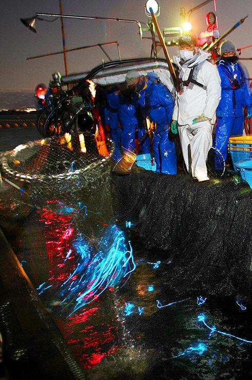 網にかかり、青白い光を放つホタルイカ=1日午前4時35分ごろ、滑川沖