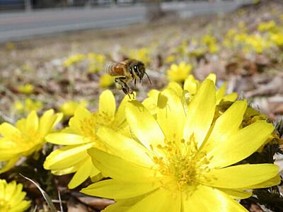 ミツバチ誘う早春の彩り 木祖のフクジュソウ群落