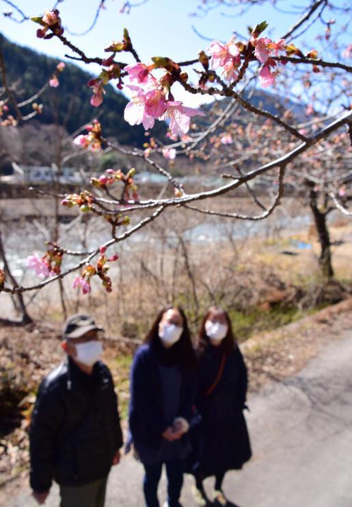 ほころび始めた河津桜を眺める見物客=3日、飯田市南信濃和田