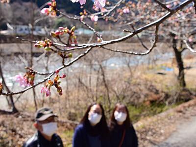 遠山川に春の訪れ、河津桜開花 飯田・南信濃和田